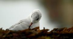 Prcieuse  -  Precious (Daisy joss - ABSENTE) Tags: mouette oiseau animal