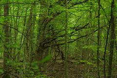 IMGP5359 (msklodowski) Tags: biaowiea forest primeval
