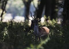 3H8A4069 (shay connolly) Tags: fallow deer dublin phoenix parl wildlife shay connolly