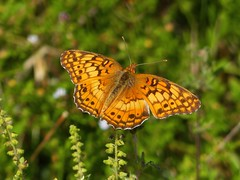 Variegated Fritillary (Euptoieta claudia) (Nature In a Snap) Tags: crosswicks creek greenway province line road access plumsted township ocean nj new jersey 2016 nature wildlife variegated fritillary euptoieta claudia winged butterfly butterflying butterflier lepidoptera