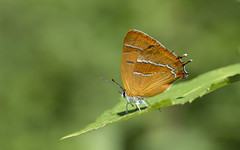 Brown Hairstreak (Thecla betulae). (Bob Eade) Tags: brownhairstreak brown hairstreak butterflies butterfly lepidoptera nikond610 nature wildlife southdownsnationalpark sussex westsussex female steyning latesummer sigma