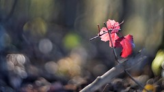 Colorful (Nyllet) Tags: leaves red twigs sunlight bokeh