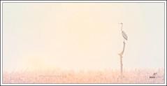 Dawn Patrol (Mick Ryan Photography) Tags: dawn greyheron nature naturephotography wildlife leightonmoss mist