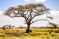 Serengeti #tanzania #serengeti #landscape_lovers #WatchThisInstagood #landscape_captures #VisualsOfLife #dehazeco #livefolk #artofvisuals #liveauthentic #welivetoexplore #jaw_dropping_shots #naturelovers #awesome_earthpix #landscapephotography #ig_masterp