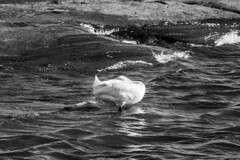 Joutsen meress (kimblenaattori) Tags: joutsen kyhmyjoutsen swan sea rocks carl zeiss jena mc sonnar 180mm f28 ddr