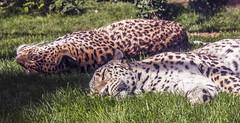 Cats will be cats (Deathbyhugs) Tags: budapest city zoo hungary europe animals cat sun grass sleeping