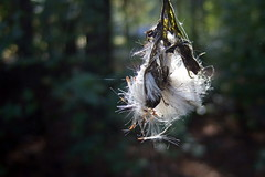 Hanging On (cathyhubmann) Tags: 3662016 nature seedpods