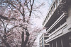 someiyoshino/office (Nazra Zahri) Tags: japan river cherry 50mm spring nikon raw blossom 桜 sakura nikkor okayama someiyoshino ソメイヨシノ asahikawa 50mmf14d 2013 d700 vscofilm