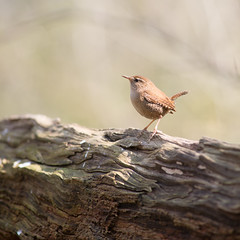 Troglodyte mignon, Eurasian Wren (Zed The Dragon) Tags: wild bird birds french geotagged effects photography photo flickr tits minolta photos sony full le frame sur wren fullframe alpha antony eurasian troglodytes troglodyte parc postproduction franais bluetit sal zed oiseaux francais bleue sceaux mignon lightroom effets msange parcdesceaux 24x36 2013 a850 sonyalpha nannus parcsceaux dslra850 alpha850 zedthedragon minoltaapo80200hs