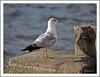 My Shadow (Diane G. Zooms---Mostly Off) Tags: seagulls nature birds seagull gulls wildbirds coth theworldwelivein supershot fantasticnature birdshadows naturesharmony shadowsbirds coth5 sunrays5 beautiesbeasts