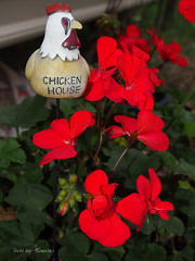 In the Chicken House (Shotz by TCreates) Tags: flowers red usa chicken nature unitedstates indiana owencounty geranium yardart 2012 ilobsterit