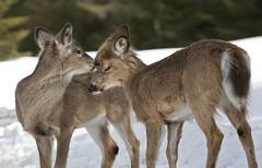 Bisou (Renald Bourque) Tags: wild canada animal flickr quebec wildlife omega doe deer chevreuil renaldbourque