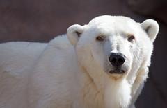 Henry Vilas Polar (giantmike) Tags: bear nature animal zoo bokeh polarbear madison wi henryvilaszoo canonef100400mmf4556lis