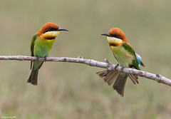 Chestnut-headed Bee-eater (Merops leschenaulti) @ Khao Yai National Park, Thailand_20130315_0628 (LawrenceNeo) Tags: chestnutheadedbeeeater