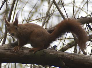Eichhörnchen, NGID703478622