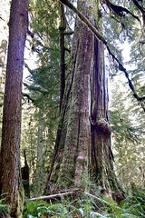 Big Trees (nwpuzzlr) Tags: hiking cedar cascades bigtree snoqualmie douglassfir middlefork cccroad hikes2013