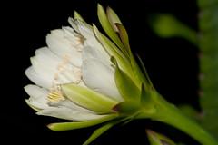 Cereus repandus (Peruvian apple cactus) (KeithABradley) Tags: cactus flower succulent weed nocturnal florida cactaceae ornamental edible cereus escaped cultivated naturalized pitaya dicot dicots peruvianus cereusperuvianus hedgecactus cereusrepandus peruvianapplecactus