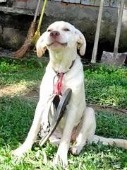 happy haha (FernandaBisoni) Tags: santa dog pet pets cute nature beautiful animal fun happy labrador cachorro fofo schroeder catarina