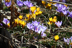 First Spring Flowers - Crocuses (bukharov) Tags: flowers toronto yellow spring violet crocus   2013