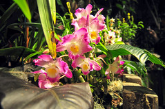 pink orchids blooming in backyard garden (DigiDreamGrafix.com) Tags: orchid flower color detail green nature beautiful beauty closeup garden botanical countryside leaf spring flora colorful branch purple natural bright blossom vibrant decorative background decoration nobody romance petal exotic tropical present bloom romantic bouquet elegant botany decor aromatic arrangement freshness copyrighted fragility