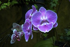 A Prayer for Boston (Feathered Trail Photos) Tags: orchid longwoodgardens mfcc thegalaxy
