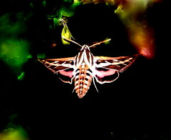 Beautiful night flyer!  White-lined sphinx moth (pawightm (Patricia)) Tags: austin texas lepidoptera hyleslineata inmygarden centraltexas hummingbirdhawkmoth pawightm flyingatdusk whitelinedsphinxhawkmoth feedingatcolumbine