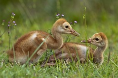 A Special Bond (TNWA Photography (Debbie Tubridy)) Tags: wild usa nature birds outdoors nikon natural florida wildlife young adorable siblings special cranes northamerica environment heartwarming rest colts grasses wilderness jupiter related habitat tender avian encounter touching bonding sandhillcranes riverbendpark twocolts babycranes twobabybirds coth5 tnwaphotography debbietubridy