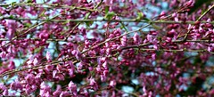 Cherry blossom! (sushmita balasubramani) Tags: nyc pink flowers usa macro tree nature colors beauty garden cherry spring blossom nj cherryblossom 50mmf14 westburygardens pinkbuds pinkfloweringtree