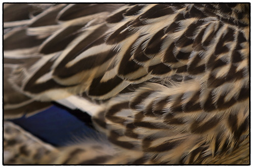 Mallard Feathers - Day 114 of 365