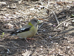 Evening Grosbeak, Prospect Park 4.25.13