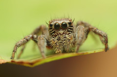 Adult Female Jumping Spider (karthik Nature photography) Tags: macro nature animals closeup canon garden spider outdoor spiders wildlife web spiderweb sigma insects jumpingspider macrophotography salticidae macroworld spiderworld insectphotography macrolife spiderphotography beautifulspiders femalejumpingspider spidersinindia jumpingspidersoftheworld beautifuljumpingspiders jumpingspidersofindia