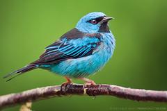 Dacnis cayana (m) (Techuser) Tags: blue bird animal rainforest colorful close aves mata atlantica tanager guainumbi