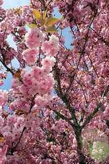 cherry blossom love (❀abby❀) Tags: pink flowers tree nature vertical digital canon outdoors spring quality vanth qualityphotography verticalphotography canont2i