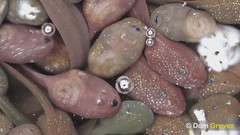 Blowin' Bubbles (Dom Greves) Tags: uk video pond surrey tadpole wetland behaviour ranatemporaria respiration commonfrog