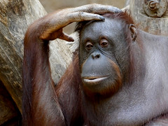 Der Denker (Sarah S) Tags: animals zoo monkey orangutan tier affe tierportrait