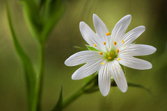 Stitchwort (Mandy Disher) Tags: white flower stitchwort stellariaholostea