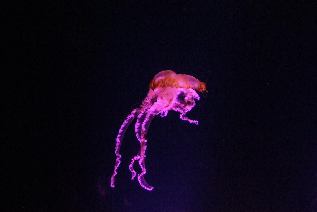 Méduse à l'Atlantis - Paradise Island