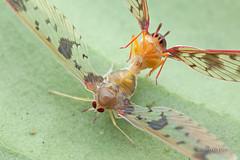 IMG_1947 (melvynyeo) Tags: bug mating planthopper derbidae
