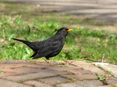 Blackbird (Wilma1962*) Tags: bird blackbird vogel merel mygearandme mygearandmepremium mygearandmebronze mygearandmesilver