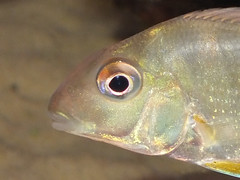 Surinam eartheater (Geophagus altifrons) juvenile portrait (shadowshador) Tags: life portrait fish water america amazon rainforest wildlife south fresh creation ichthyology gods biology juvenile animalia surinam freshwater scientific taxonomy classification cichlidae rainforests chordata bilateria deuterostomia craniata vertebrata gnathostomata osteichthyes altifrons actinopterygii neopterygii teleostei eukaryota perciformes eumetazoa geophagus acanthopterygii labroidei eartheater opisthokonta neomura geophaginae holozoa filozoa
