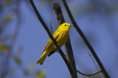Yellow warbler (Henry McLin) Tags: usa birds pennsylvania hanover warbler yellowwarbler