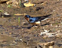 Barn Swallow (Hirundo rustica) (Hawkman Photography) Tags: nature birds wildlife barnswallows swallows nikond5100 winstonpatrickmcgregorparkcleburnetexas barnswallowhirundorusticapasserinebirds