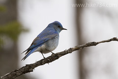 """Mountain Bluebird"" • <a style=""font-size:0.8em;"" href=""http://www.flickr.com/photos/63501323@N07/8711805653/"" target=""_blank"">View on Flickr</a>"