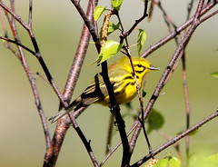 Prairie Warbler 4 (AF3LMike) Tags: black bird nature birds yellow canon outdoors photography wings outdoor hiking pennsylvania wildlife birding wing beak feathers feather birders birdwatching birder warbler yellowandblack birdwatcher naturephotography beaks naturelovers naturelover birdwatchers featheredfriend featheredfriends warblers prairiewarbler birdphotography birdlovers wildlifephotography outdoorphotography birdlover slatington photographylover photographylovers lehighgapnaturecenter canoneos60d outdoorlover eos60d prairiewarblers wildlifelover wildlifelovers outdoorlovers
