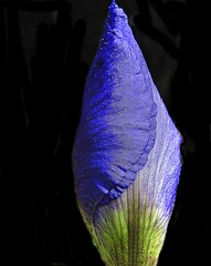 .Iris ( the-best-is-yet-to-come ) Tags: iris ngc violett hintergrund schwarzer badhonnef blinkagain