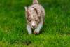 IMG_1393 (_Julia_B_) Tags: blue red dog playing man black cute puppy miniature amazing nice eyes puppies sweet shepherd von australian 8 mini charlie american cuddly eyed pup masked aussie augen weeks tri der bet merle stud niedlich blaue welpen grube süs adores deckrüde eupel langundo krädies