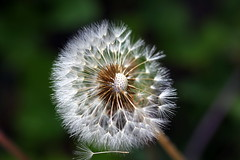 Dandelion Falling (Bartfett) Tags: plant flower detail macro green nature blow dandelion falling wish