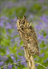 Long-eared owl (Archimedes) (Craig Lindsay 2112) Tags: bluebells wildlife centre surrey owl british longeared archimedes