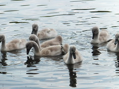 Youngsters (lady.bracknell) Tags: bird nature birds liverpool swan cygnet waterfowl cygnets seftonpark muteswan