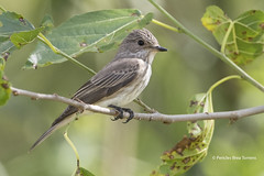 Muscicapidae: Muscicapa Striata - Papamoscas Gris - Spotted Flycatcher (Pericles Brea) Tags: paseriformes muscicapidae muscicapa muscicapastriata papamoscasgris spottedflycatcher sevilla espaa spain p313 9375066 bird